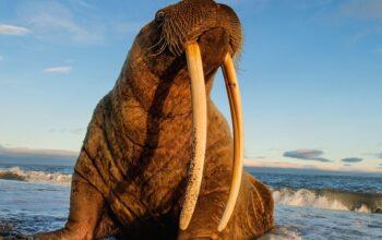 Ученые наблюдают за моржами из космоса